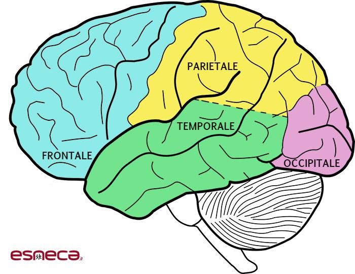 lobi cervello afasia